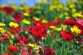 Картинка поле, цветы, маки, ромашки, фокус, желтые, красные