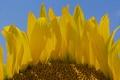 Картинка цветок, небо, природа, краски, подсолнух, лепестки