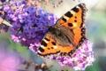 Картинка цветок, крапивница, буддлея, макро, бабочка