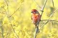 Картинка природа, птица, House Finch