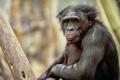 Картинка природа, обезьяна, примат, pygmy chimpanzee
