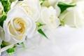 Картинка розы, white, белые, flowers, roses
