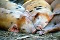 Картинка природа, фон, свиньи