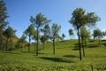 Картинка небо, деревья, холмы, чай, плантация