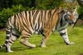 Картинка кошка, природа, тигр, прогулка