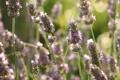 Картинка блики, лето, лаванда, растения, природа, свет, макро