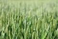 Картинка поле, макро, фото, поля, колоски, колосья, природ
