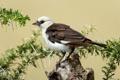 Картинка птица, ветки, шипы, пень, Белоголовый скворцовый ткач