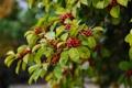 Картинка ягоды, дерево, ветка, красные