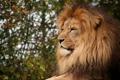 Картинка кошка, лев, грива, профиль