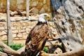 Картинка птица, сидит, смотрит, орлан белоголовый