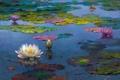 Картинка листья, вода, пейзаж, цветы, озеро, пруд, картина