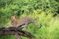 Картинка дерево, хищник, леопард, саванна