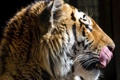 Картинка язык, морда, тигр, темный фон, хищник, профиль, дикая кошка