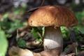 Картинка осень, белый, листья, гриб, еда, боровик