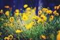 Картинка цветы, желтые, размытость, клумба