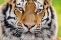 Картинка тигр, морда, взгляд