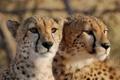 Картинка взгляд, морда, кошки, пара, гепарды