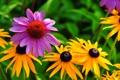 Картинка природа, растение, лепестки, сад, луг, эхинацея