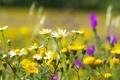 Картинка цветы, ромашки, желтые, белые, полевые