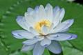 Картинка цветок, лилия, лепестки, голубая, водяная