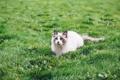 Картинка поле, трава, кот, голубые глаза, ленивый