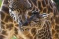 Картинка жирафы, забота, детеныш, мама