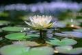 Картинка листья, вода, озеро, водяные лилии