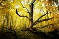 Картинка осень, лес, природа, дерево, старое, сухое