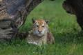 Картинка кошка, трава, мокрый, коряга, тигрёнок, золотой тигр