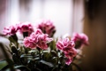 Картинка горшок, весна, цветение, розовый, кист, букет, макро