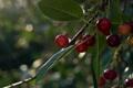 Картинка красные, зелень, листва, ягоды