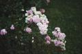 Картинка белые, лепестки, розовые, цветы