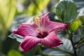 Картинка лепестки, гибискус, китайская роза