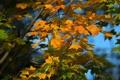 Картинка осень, небо, листья, дерево