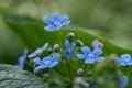 Картинка зелень, трава, макро, цветы, растения, весна, голубые