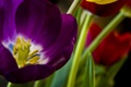 Картинка цветок, тюльпан, лепестки, луг