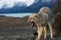 Картинка волк, койот, koyot