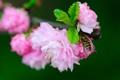 Картинка макро, цветы, ветка, насекомое, цветение, журчалка
