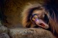 Картинка утро, обезьяна, зевает, просыпаемся.)