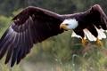 Картинка Белоголовый орлан, птица, крылья, полёт, ястреб, хищник