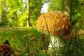 Картинка лес, гриб, трава, деревья, макро