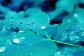 Картинка листья, капли, синее