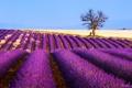 Картинка лаванда, Франция, поле, дерево, плантация, цветы