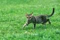 Картинка трава, кот, взгляд, полосатый