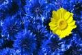 Картинка синий, желтый, контраст, васильки
