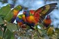 Картинка ветка, попугаи, Многоцветный лорикет