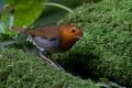 Картинка зелень, природа, птица, мох, коричневая, оперение