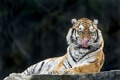 Картинка язык, кошка, тигр, амурский, ©Tambako The Jaguar