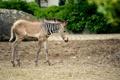 Картинка природа, зебра, полоски